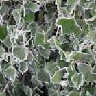 Ivy (frosted)