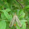 Common Scorpionfly / Obična kljunarica ♂