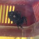 Colorado daring jumping spider