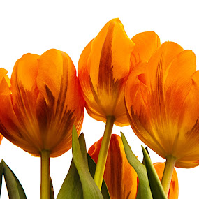 Orange Tulip by Sue Matsunaga - Novices Only Flowers & Plants (  )