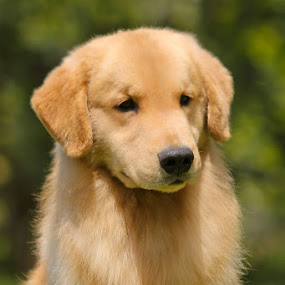 Golden Retriever by Fotografía Melissa Thereliz - Animals - Dogs Portraits ( pet, gold, dog, portrait, golden retriever,  )