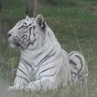 Bengal Tiger / Tigre de bengala