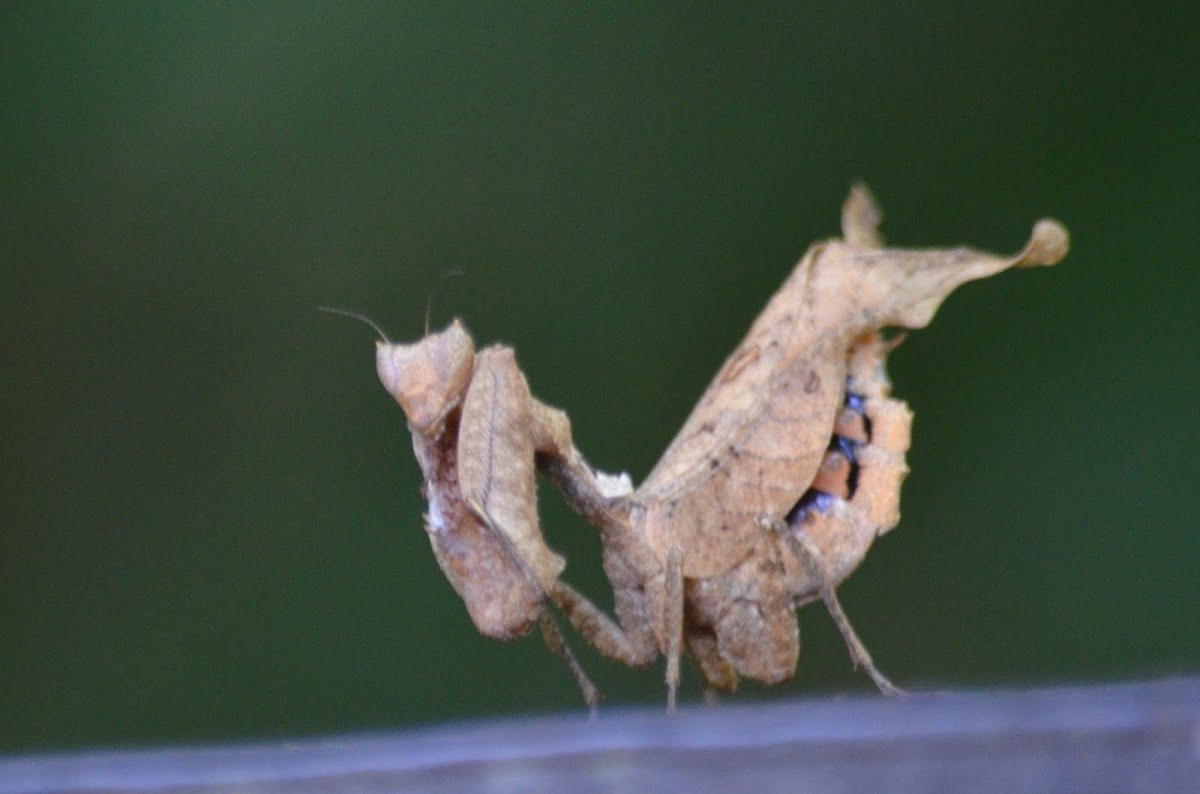 Dry leaf mimic Mantis
