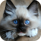 The Talking Ragdoll Cat