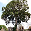 Panama Tree