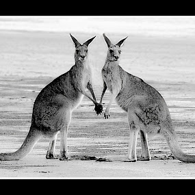 Kangaroos in Love by Chris KIELY - Animals Other Mammals ( love, kangaroo, holding, hands, beach, , black and white, animal, improving mood, moods, red, the mood factory, inspirational, passion, passionate, enthusiasm )