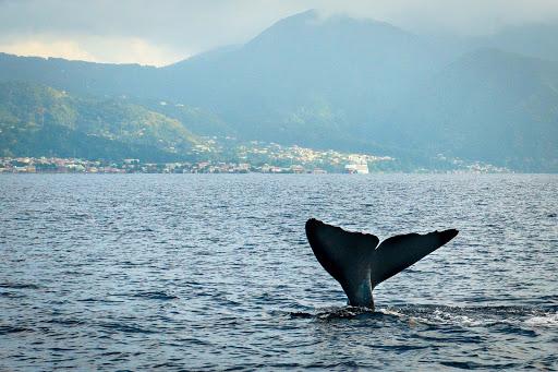 whale-dominica - Whale fluke near Point Michel, Saint Luke, Dominica.