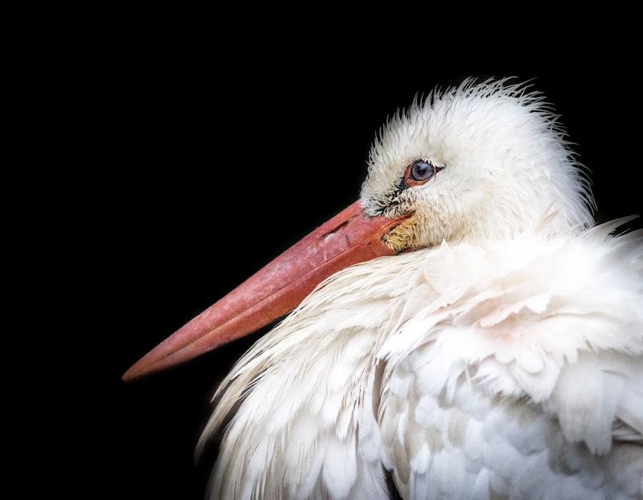 Long beak by Gary Chadbond - Animals Birds ( bird, beak, wildlife,  )