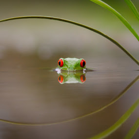 Beauty of Reflection by Kutub Macro-man - Animals Amphibians ( forests, earthly, reflection, jade, green, mood, scenic, relaxing, amphibians, close-up, revive, macro, nature, emotions, trees, meditation, the mood factory, renewal, natural, inspirational, animal )