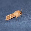 Antler Moth