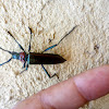 Musk beetle. Escarabajo cornilargo.