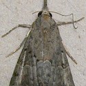 Hop Vine Moth