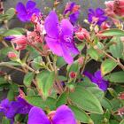 Melestoma sp. Or Tibochina sp.