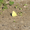 cloudless sulpher butterfly