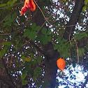 Balsam apple