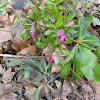 common red hellebore