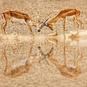 Rut Fighting by Nayyer Reza - Animals Other Mammals ( pakistan, animals, color, black bucks, rut fighting, nayyer, reza )