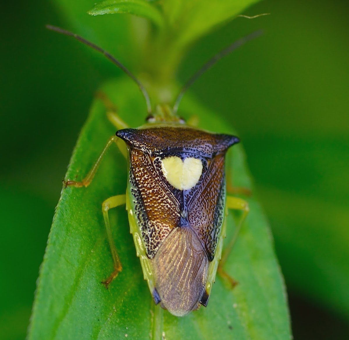 Unknown Shield Bug