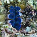 Crocus Clam, Boring Giant Clam