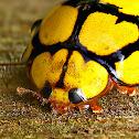 Yellow Spotted Ladybird or Ladybug