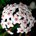Pink Hoya (wax plant) flowers