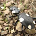 Domino beetle