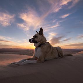 by Michael Keel - Animals - Dogs Portraits ( mojave desert, shepherd, dunes, kelso dunes, desert sunset, sunset, husky, husky mix,  )