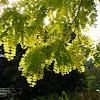 Golden False Acacia