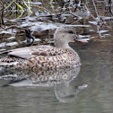 Gadwall (female)