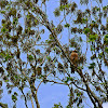 Red- shouldered Hawk
