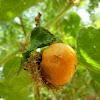 Stinking Passionflower fruit