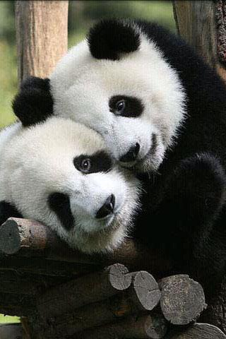 Cute Panda Photography - screenshot