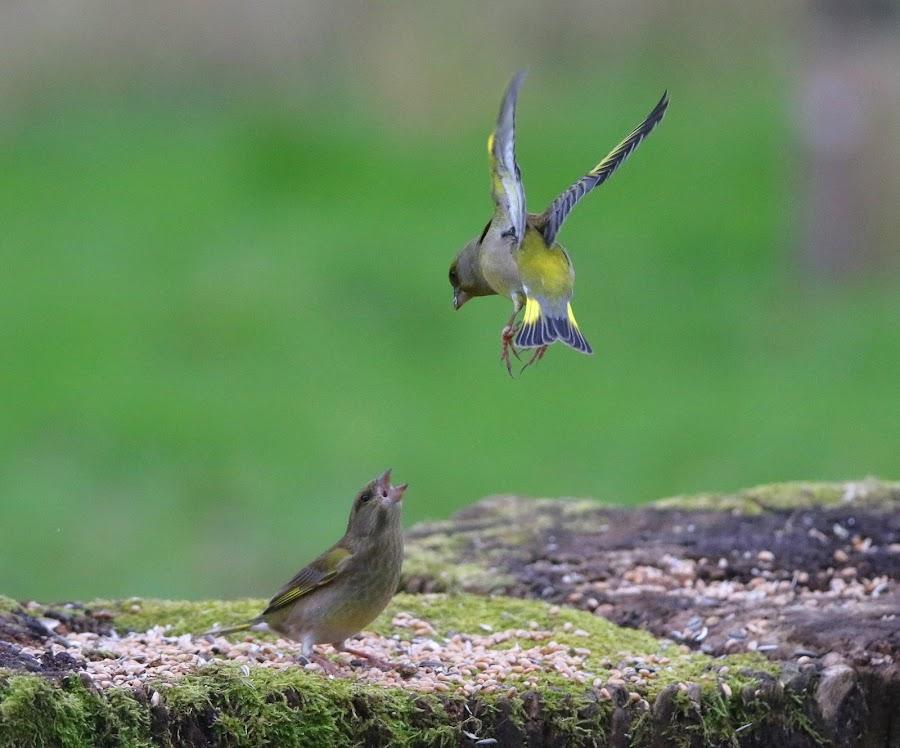 Groenlingen. by Dirk Van den Berghen - Animals Birds