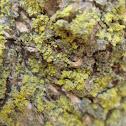 Candleflame Lichen
