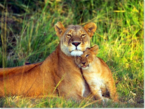 lioness-and-lion-cub