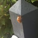 Cicada exoskeloton