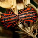 Red-black Shieldbug,Percevejo