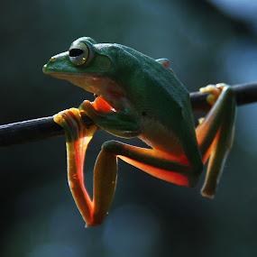 Transparent by Madhu Soodanan - Animals Amphibians