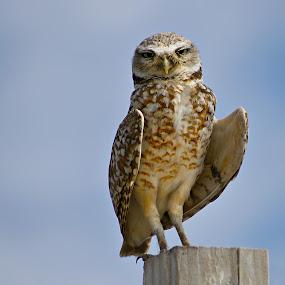 Burrowing owl looking by Gaylord Mink - Animals Birds ( look, burrowing owl, post, wings, owl )