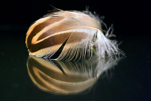 Duck Feather Reflection by Phil Le Cren - Artistic Objects Other Objects ( duck feather, mirrored, artistic object, object, feather )