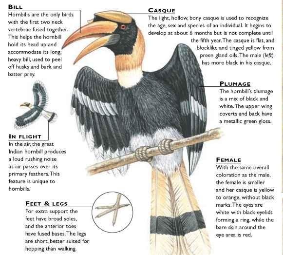 Great Indian Hornbill Birds