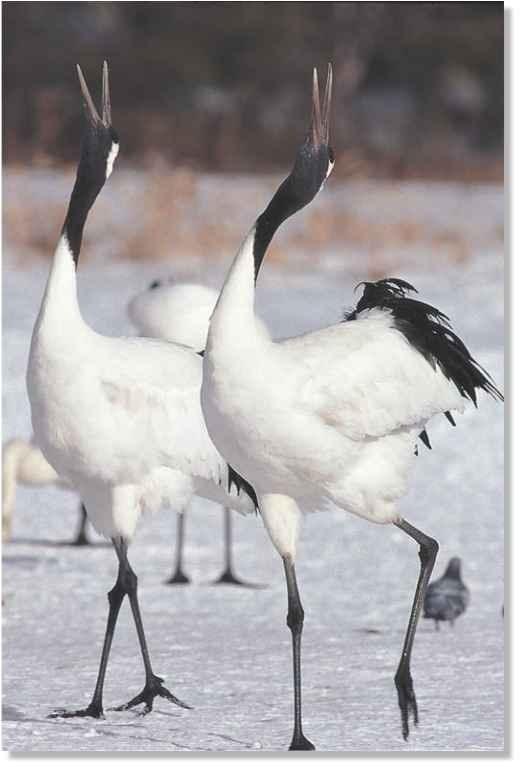 Japanese Crane (Birds) - photo#1