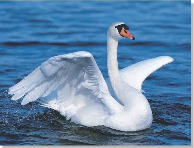 Mute Swan (Birds)