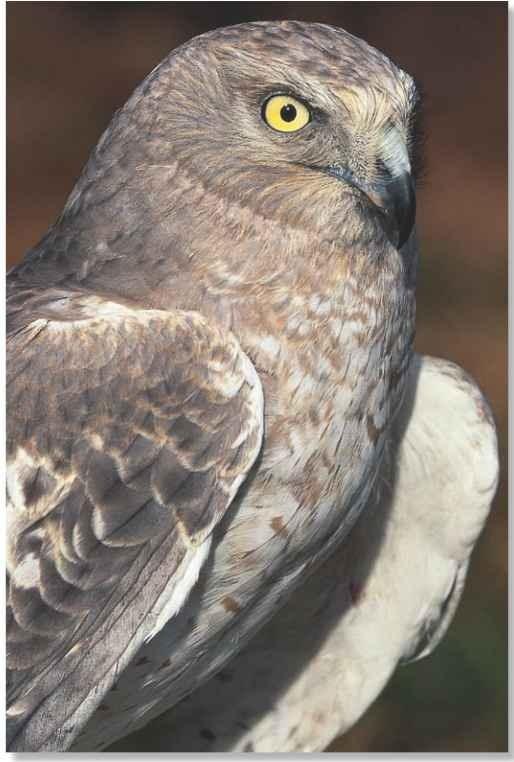 Northern Harrier Birds
