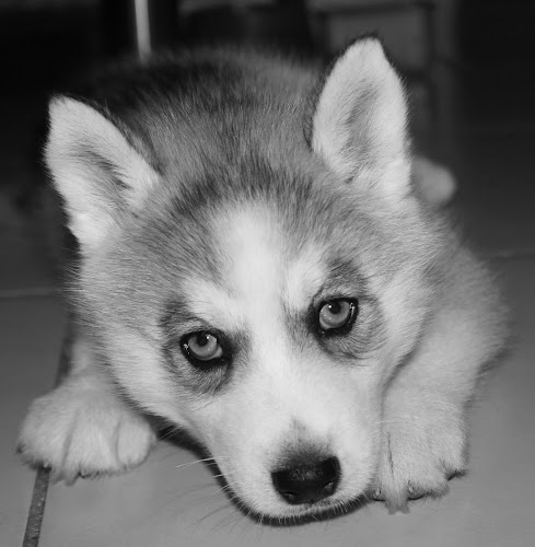 Baby Mya by Maz Tissink - Animals - Dogs Puppies ( dogs )