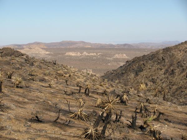 Burned Joshua trees with desert backdrop.
