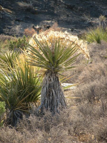 more yucca (Joshua tree)