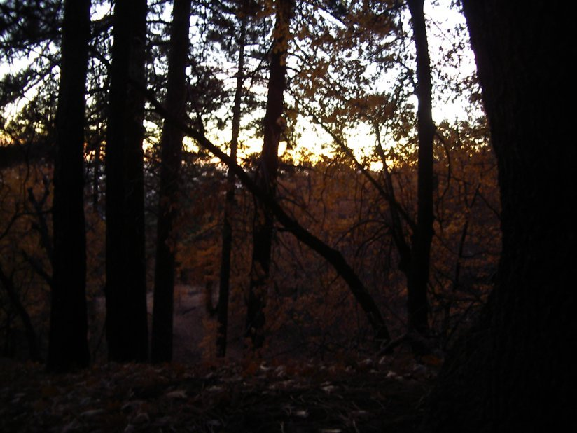 The sunrise, as seen out the tent through the golden oaks.