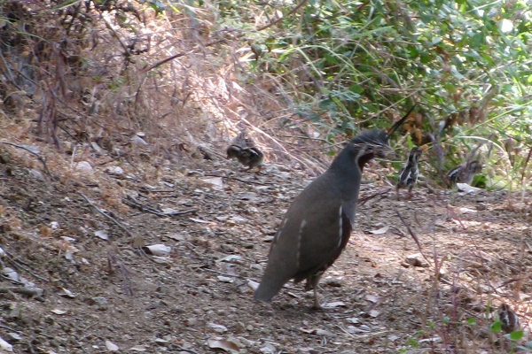 quail and chicks on the trail