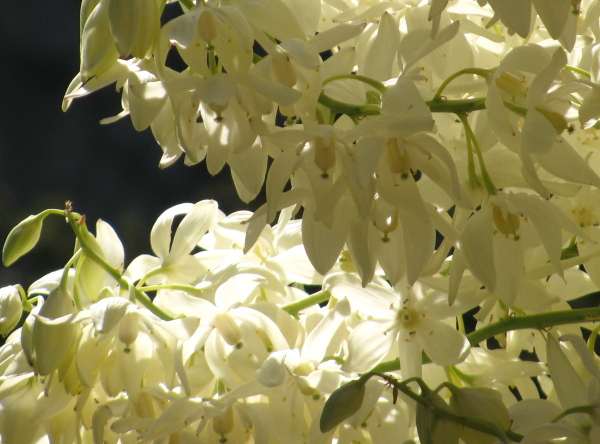 close up of yucca flowers with one pointing directly toward you with light coming through just perfectly